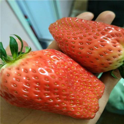 隋珠草莓苗经销商