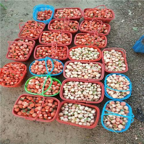 妙香7号草莓苗价格表
