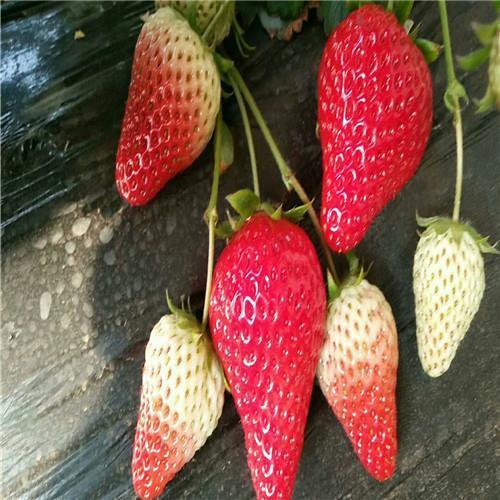 甜宝草莓苗管理技术