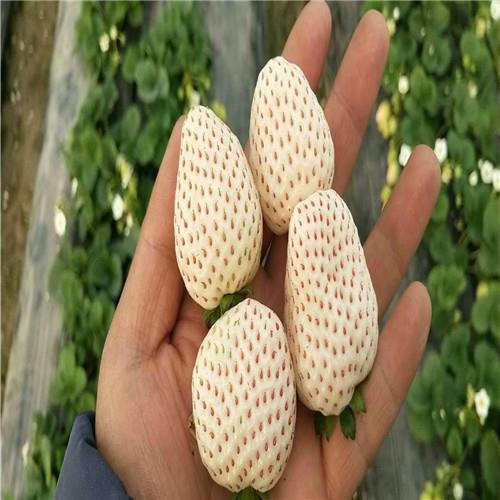 莓宝草莓苗销售价格