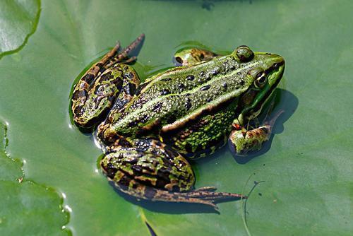 资阳养殖黑斑蛙基地