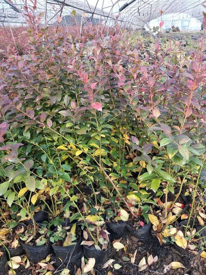 钱德勒蓝莓苗