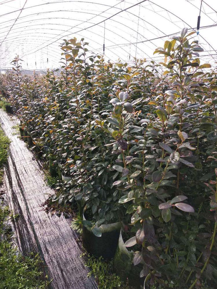 夏普蓝蓝莓苗