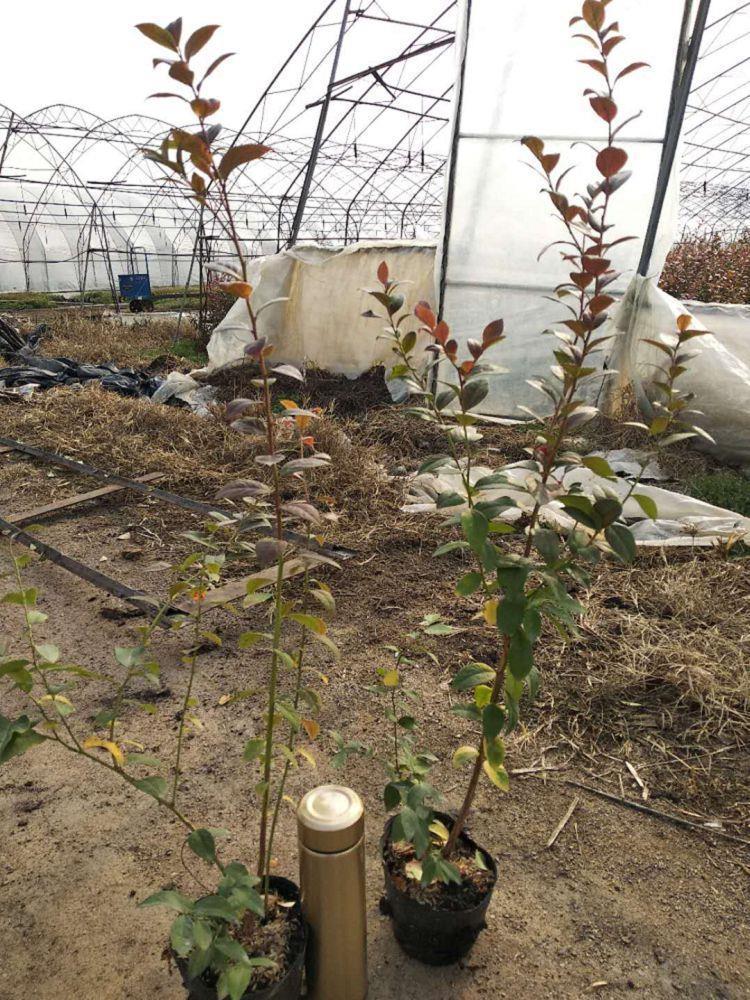 2年蓝莓苗新品种