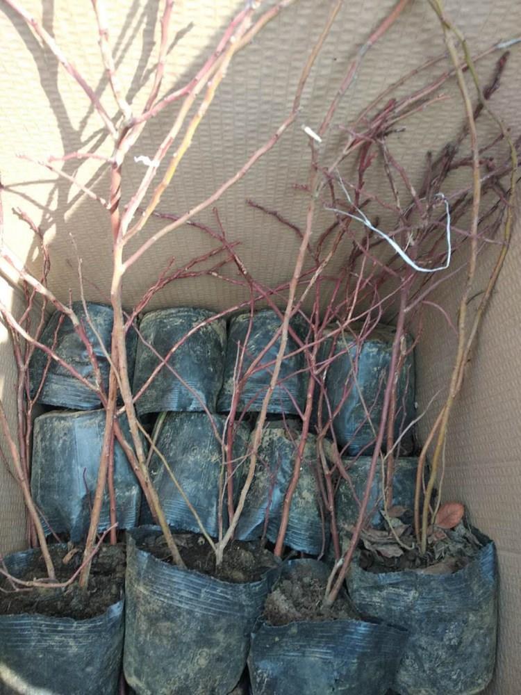 2年蓝莓苗价格