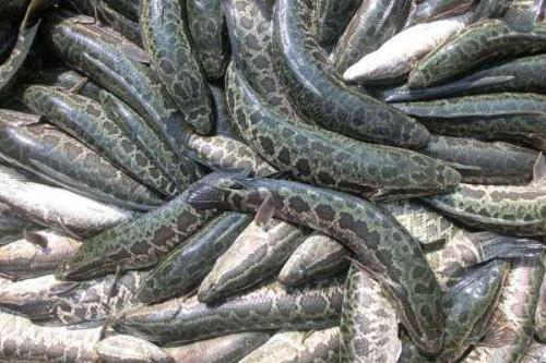 滁州黑鱼养殖黑鱼以科技为支撑 让你创业无忧规格