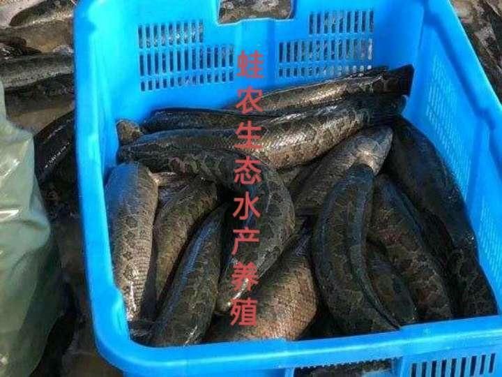 昆明黑鱼的技术养殖