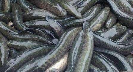 银川湖北黑鱼养殖技术定制