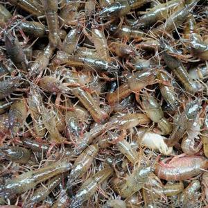 承德小龙虾养殖培训