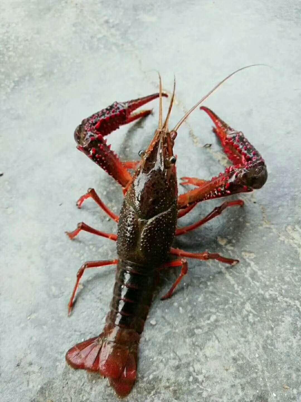 玉溪龙虾养殖培训学校