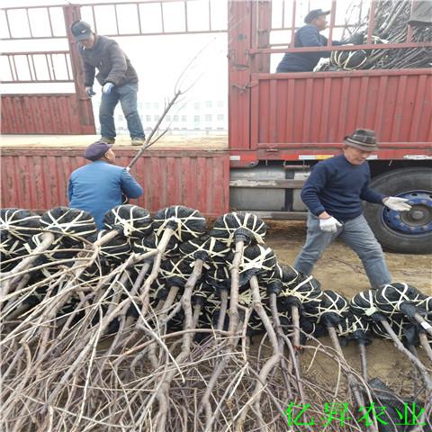 黑珍珠樱桃苗供应商