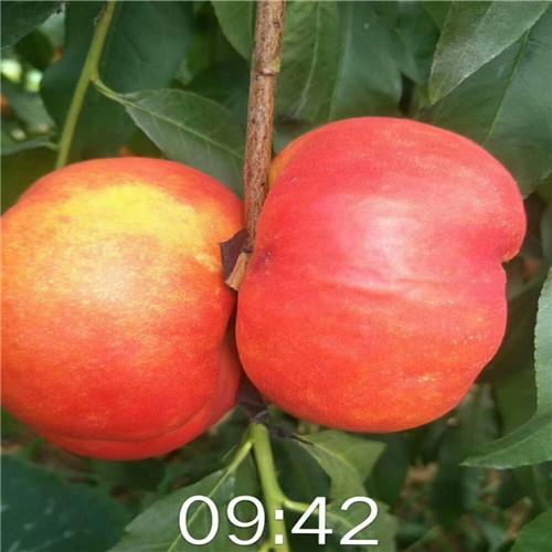 蓬仙系列桃树苗出售