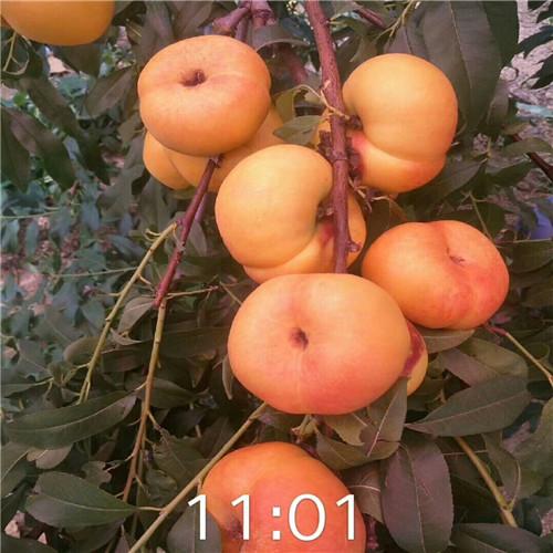 油蟠桃树苗报价