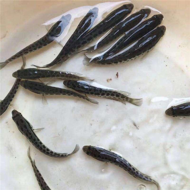 宁德黑鱼的养殖技巧