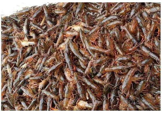 自贡种虾合作社