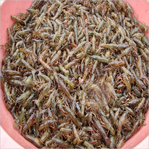 泸州小龙虾苗