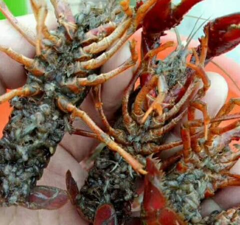 重庆小龙虾种苗电话