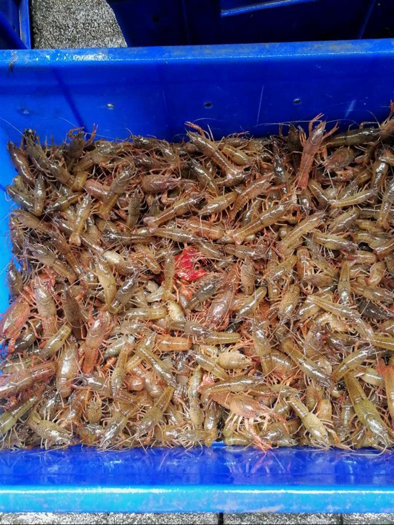 德阳种虾养殖技术