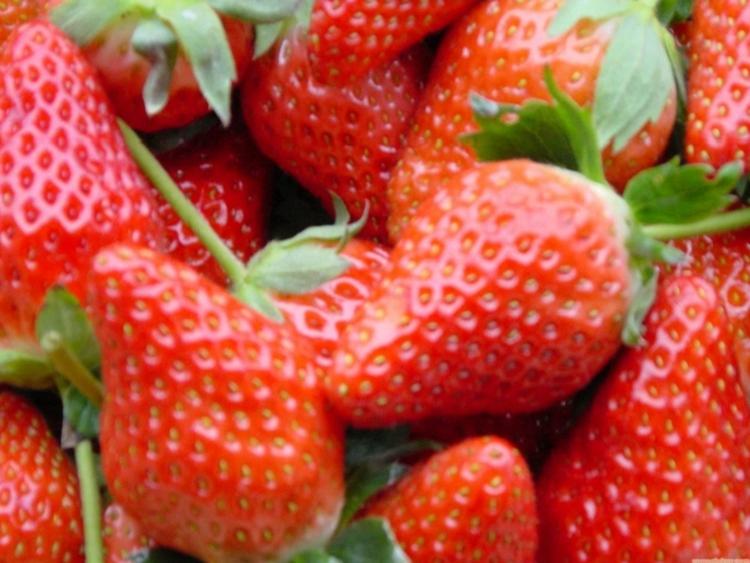 草莓苗到哪里购买盛硕农业30年培育种植草莓苗基地甜查理草莓苗价格