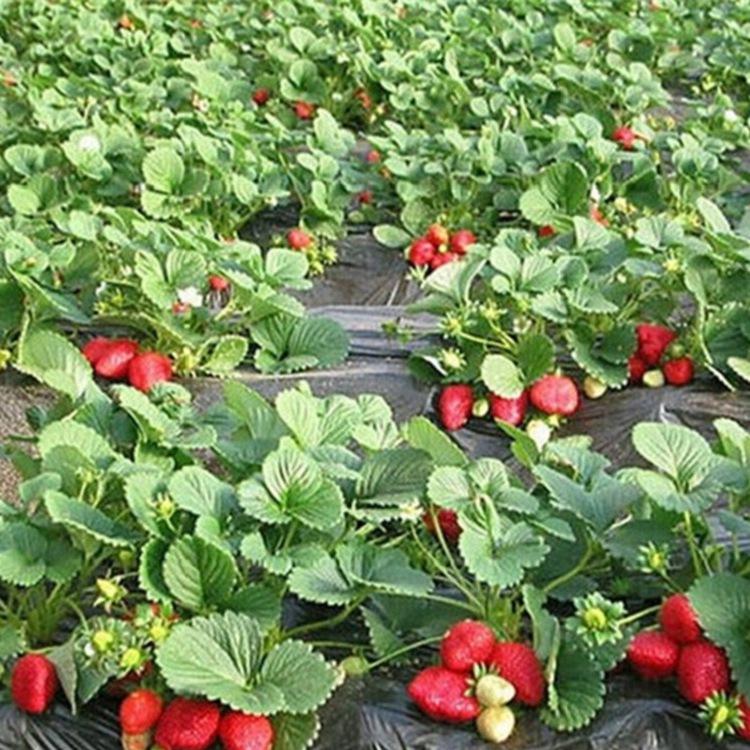草莓苗哪里有卖的盛硕农业30年培育种植草莓苗基地白雪公主草莓苗价格