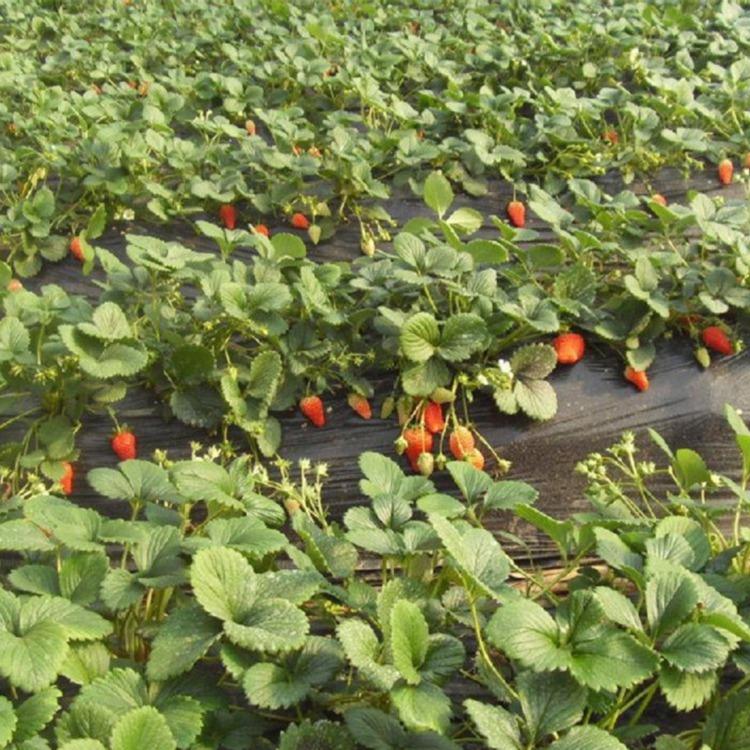 草莓苗怎么栽种盛硕农业30年培育种植草莓苗基地四季草莓苗价格