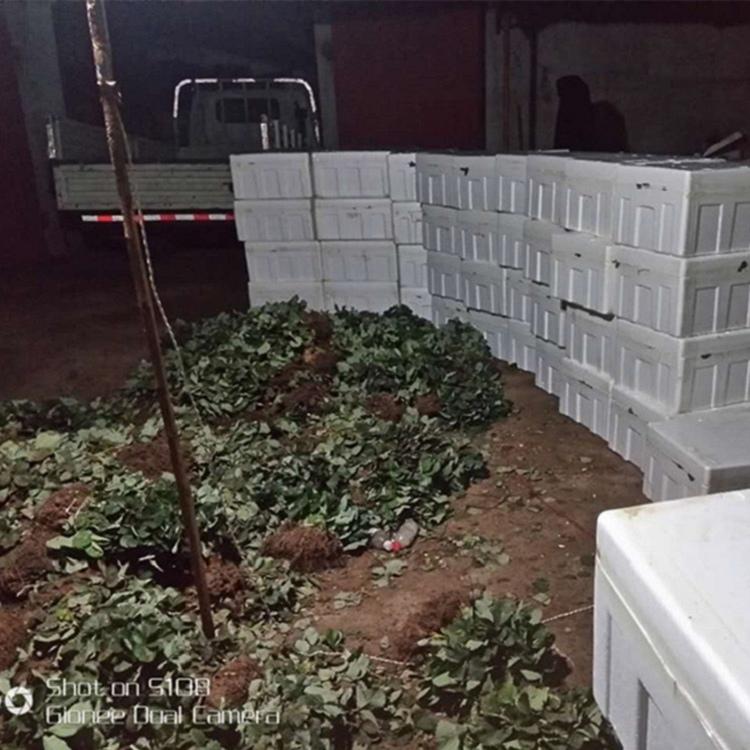 草莓苗怎么栽种盛硕农业30年培育种植草莓苗基地红颜草莓苗价格