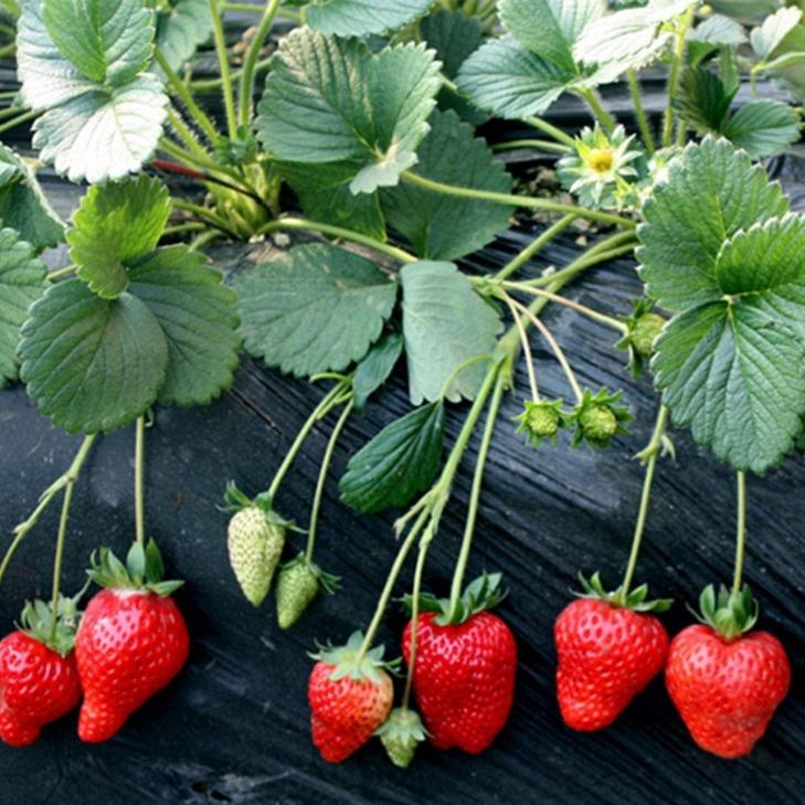 草莓苗怎么栽种盛硕农业30年培育种植草莓苗基地甜查理草莓苗价格