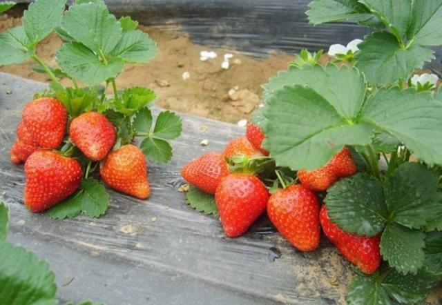 草莓苗到哪里购买盛硕农业30年培育种植草莓苗基地章姬草莓苗价格