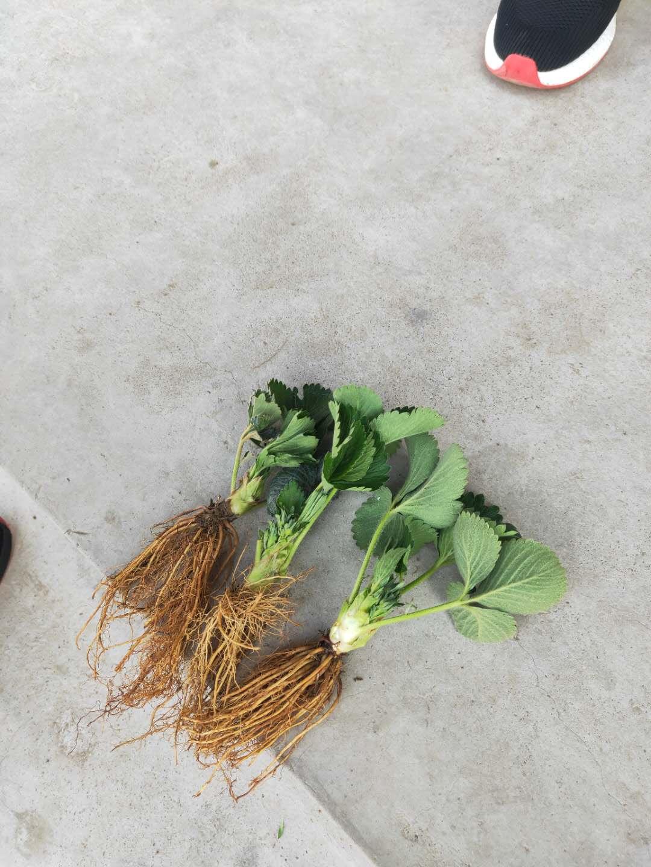草莓苗价格报价盛硕农业30年培育种植草莓苗基地白雪公主草莓苗价格
