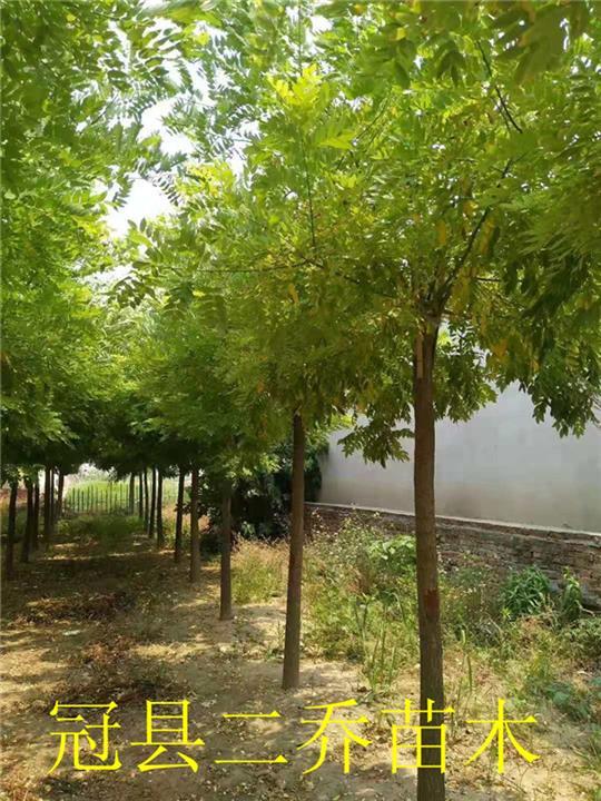 青州市矮接金枝槐种植基地