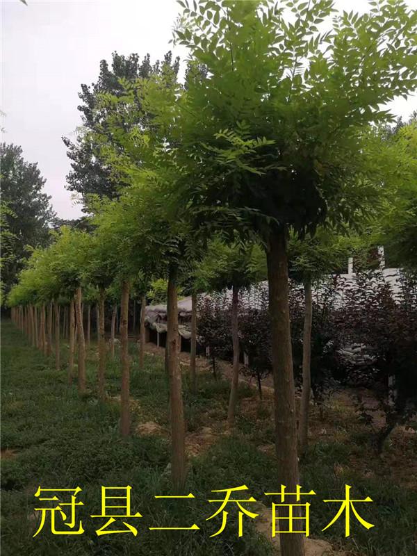 金枝槐繁育基地