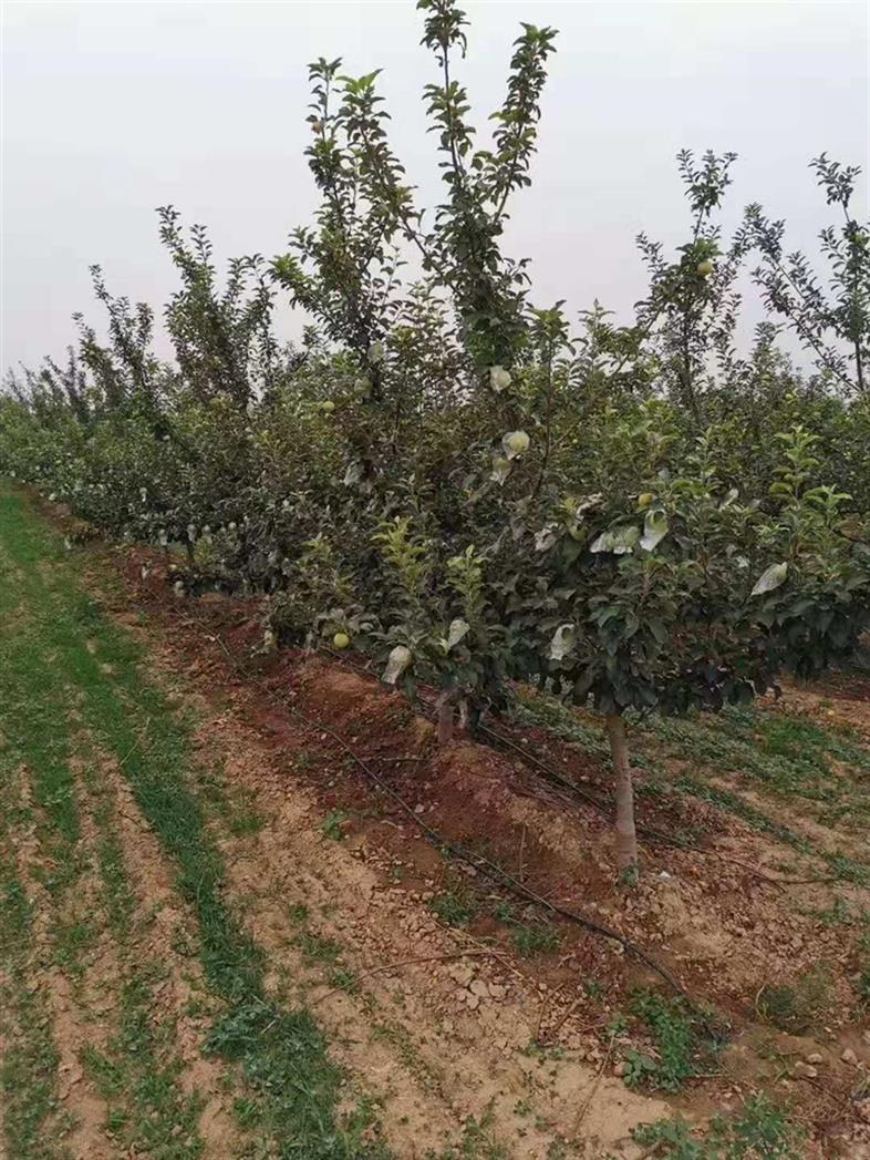 挂果苹果树规格