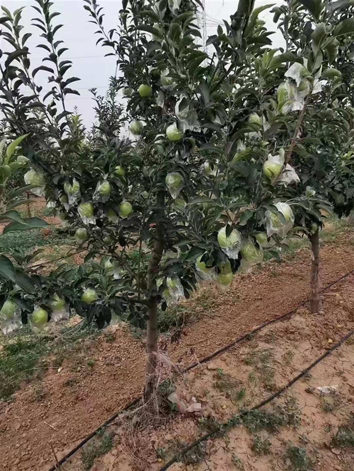 运城4公分苹果树供应商