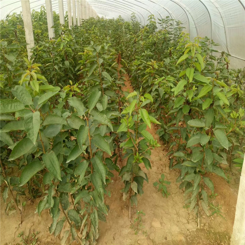 荒山绿化兰丁砧木樱桃苗怎样提高移栽成活率