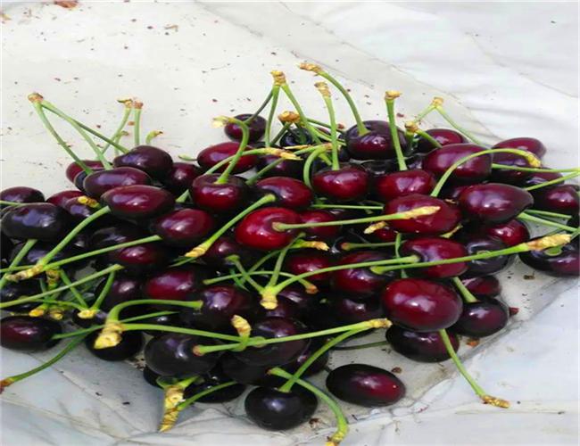 大紫樱桃苗多少钱一棵,矮化大紫樱桃苗今年价格