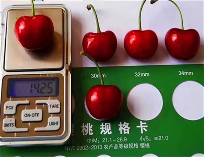 先锋樱桃苗基地介绍,矮化先锋樱桃苗产地价格