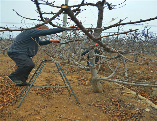 萨米脱樱桃苗一亩地多少棵,矮化萨米脱樱桃苗价格详情