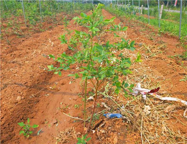 一公分兰丁樱桃苗浮动价格,三公分布鲁克斯樱桃树苗育苗基地