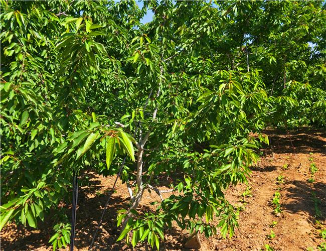 一公分福辰樱桃苗参考价格,三公分樱桃树苗哪里有卖的