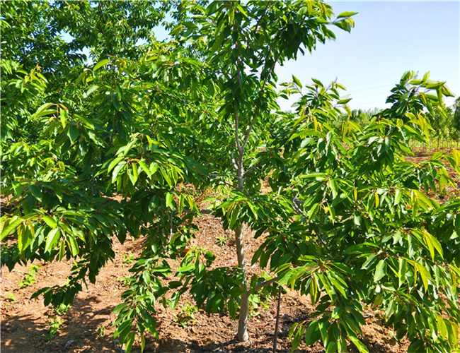 吉塞拉樱桃树苗哪里有卖的,黑珍珠樱桃苗价格列表