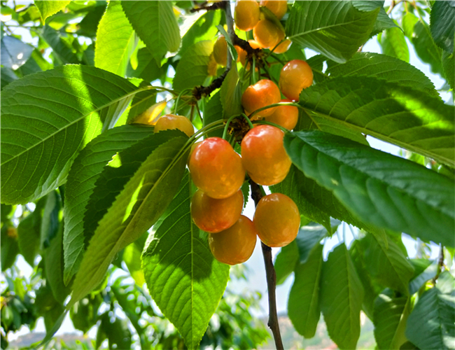一公分俄罗斯8号樱桃苗价格列表,三公分黄蜜樱桃树苗现货销售
