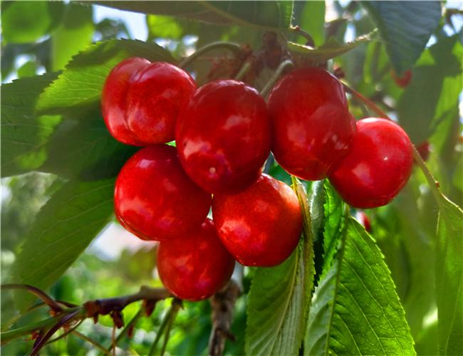 一公分福辰樱桃苗售价,三公分俄罗斯8号樱桃树苗基地规模
