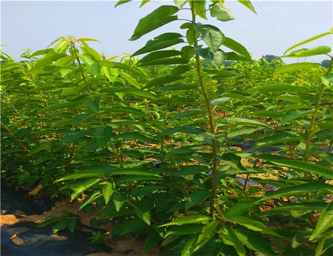 美国一号樱桃树苗品种介绍,福星樱桃苗每日价格