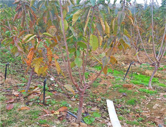 黄蜜樱桃树苗产地,俄罗斯8号樱桃苗今年价格