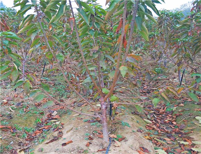 一公分黄蜜樱桃苗零售价,三公分福辰樱桃树苗种植基地