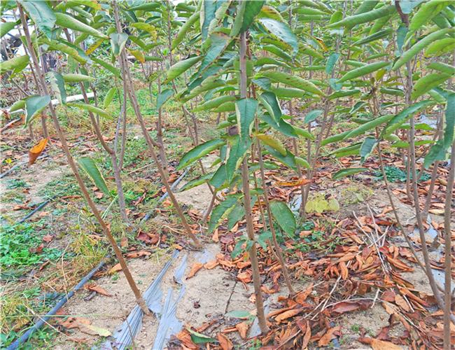 拉宾斯樱桃树苗生产苗圃,吉塞拉樱桃苗参考价格