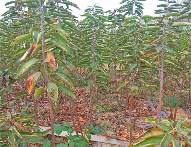 布鲁克斯樱桃苗出售基地,矮化布鲁克斯樱桃苗浮动价格