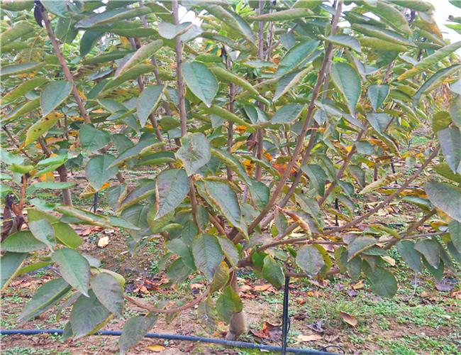 鲁樱3号樱桃树苗怎么卖,红灯樱桃苗价格及基地