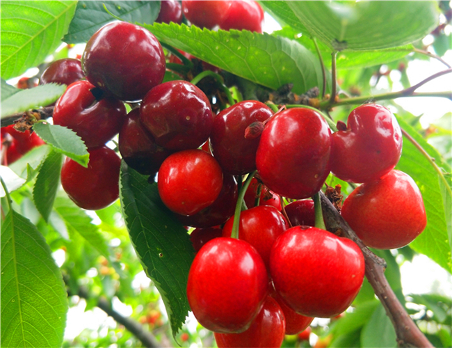 车厘子樱桃树苗基地规模,拉宾斯樱桃苗价格多少钱