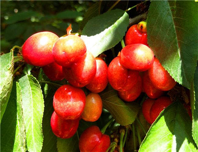 一公分奇早樱桃苗今年价格,三公分兰丁樱桃树苗种植技术